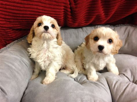 cavachon puppies for sale in ohio cavachon puppies for sale 163 495 posted 1 year ago for sale dogs images frompo