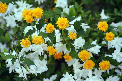 free a grouping of kerria plants with white azaleas stock