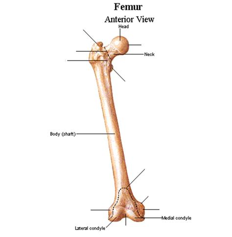 femur diagram upright walking a standing debate pt ii what