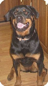 houston rottweiler rescue rottweiler for adoption in houston