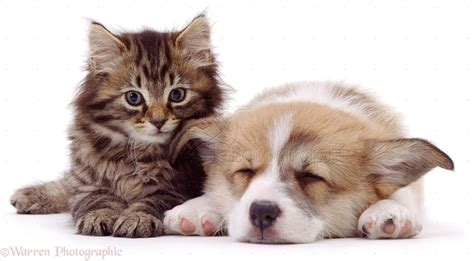puppy and kitten pictures pets corgi puppy and kitten photo wp01429 pictures of puppies kittens together