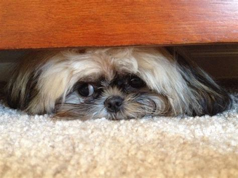 what size crate for a shih tzu 117 best ideas about shih tzu bless you on crates custom