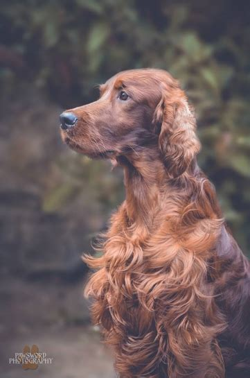 irish setter dog group irish setter breed notes