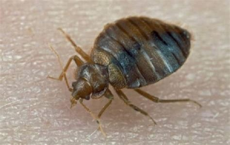 bed sized bed bug trap how to get rid of bed bugs 8 best bed bug traps sprays