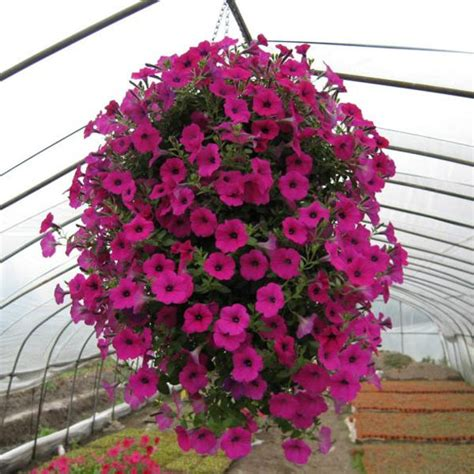Hunan Balcony by Loss Promotion Hanging Petunia Seeds Balcony Potted