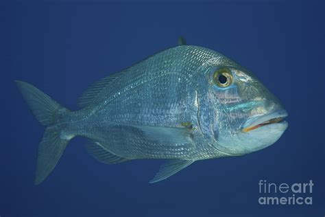Metal Fish Wall Decor Jolthead Porgy In The Waters Photograph By Terry Moore