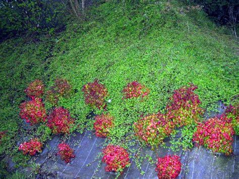 Plantes Tapissantes Sans Entretien by Nom De Cette Plante Couvre Sol