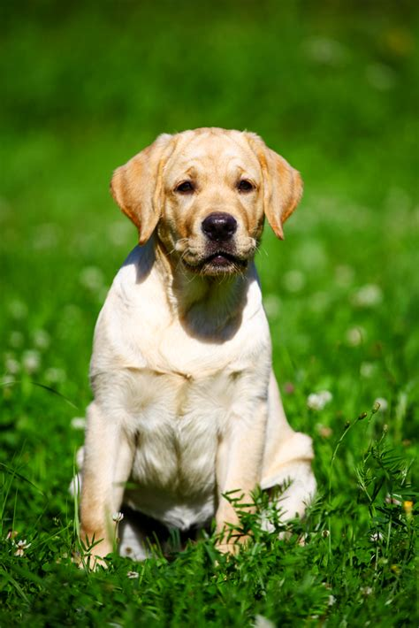 labrador retriever 1000 images about playful labrador retrievers on