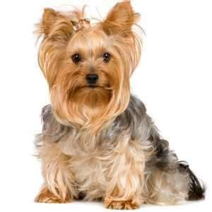 how does a yorkie stay terrier puppies for sale by reputable breeders pets4you