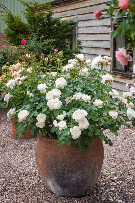 roses  pots  bring character  interest
