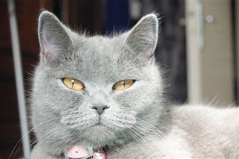 gatto certosino alimentazione alimentazione gatto certosino proteine e pochi grassi
