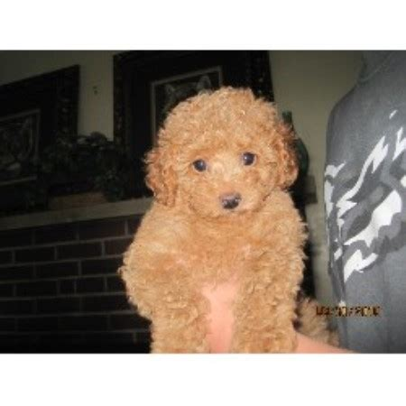 poodle rescue northwest indiana princess poodles poodle miniature breeder in