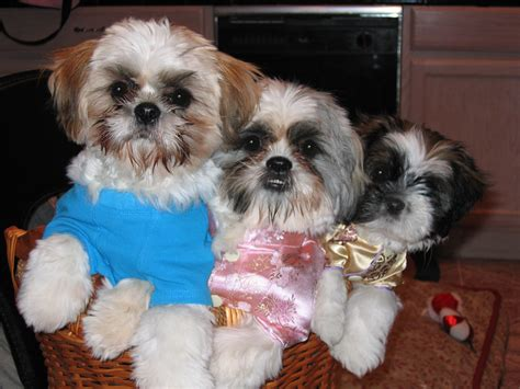 lone shih tzu lhasa apso rescue lone shih tzu and lhasa apso rescue of