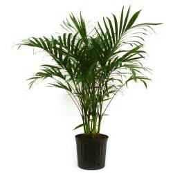 home plant delray plants cateracterum palm in 9 1 4 in pot 10cat the home depot
