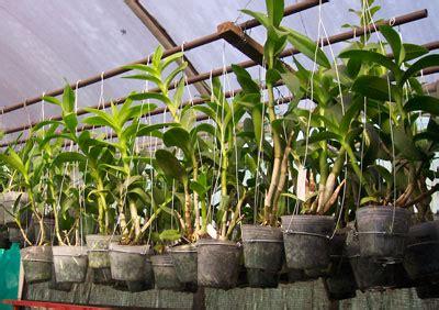 Pot Khusus Anggrek kompot komonitas pot effektif anggrek dendrobium