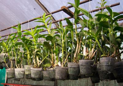 Bibit Bunga Matahari Jakarta kompot komonitas pot effektif anggrek dendrobium