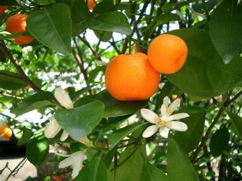 Arbre De La Clementine by Une Cl 233 Mentine De Corse Sinon Rien