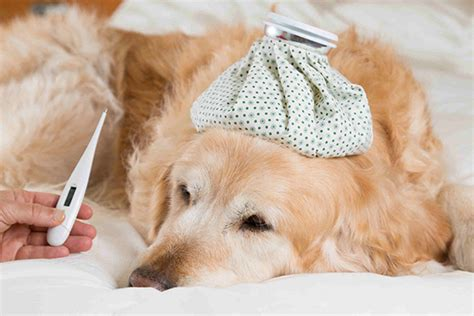 bronchitis in dogs bronchitis in dogs symptoms causes diagnosis treatment recovery management cost