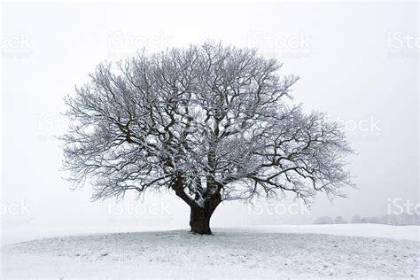 winter tree winter tree in the snow stock photo 157192725 istock