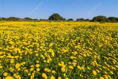 immagini di fiori gialli co di fiori gialli foto stock 169 york 76 68878057