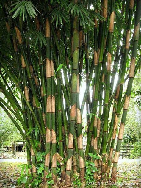 arsihbamboo com bamboo types