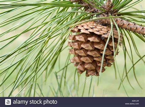pine cone tree pine cone from pitch pine tree stock photo royalty free
