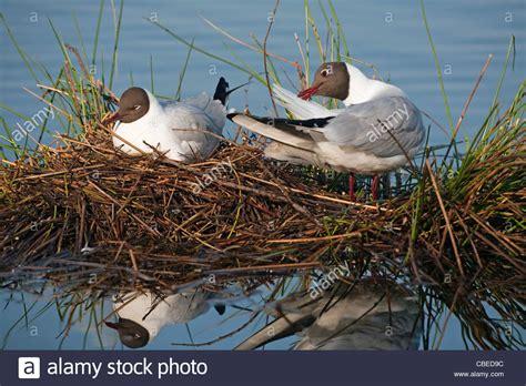 gabbiano testa nera bird nest immagini bird nest fotos stock alamy