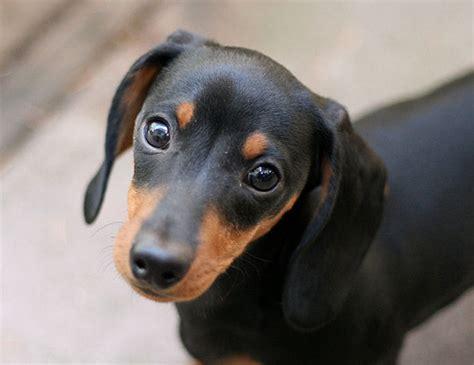 black dachshund puppies animals black and dachshund image 416458 on favim
