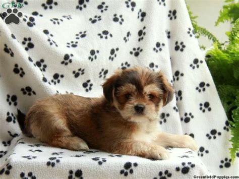 teacup yorkies for sale in utah best 25 terrier for sale ideas on teacup terrier yorkies for