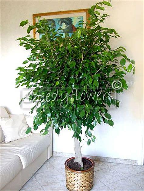 fiori di appartamento vendita piante appartamento ficus