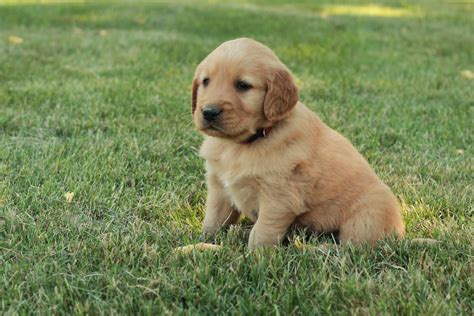 golden retriever malaysia golden retriever puppies for sale malaysia breeds picture