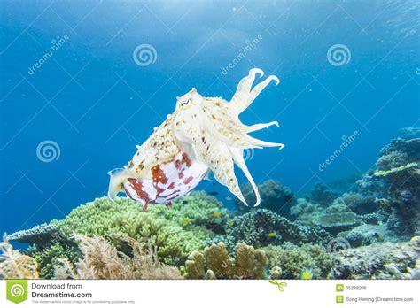 Cuttlefish Royalty Free Stock Image - Image: 35289206