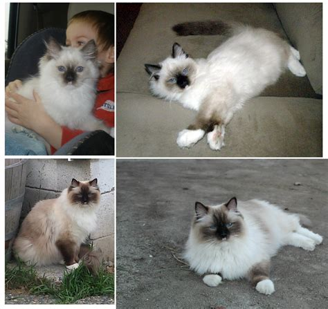 1 year rag doll ragdoll cat pictures the seal mitted transition