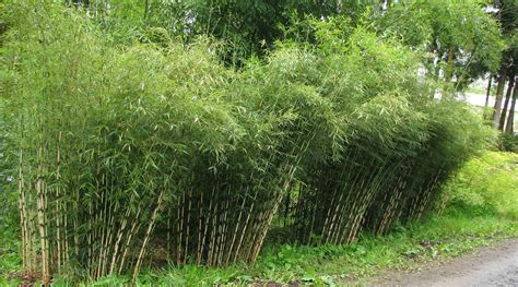 fargesia robusta clumping bamboo fargesia robusta campbell