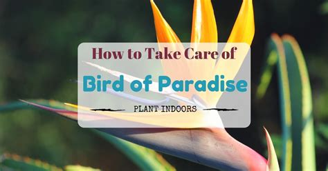 how to take care of a bird of paradise plant indoors