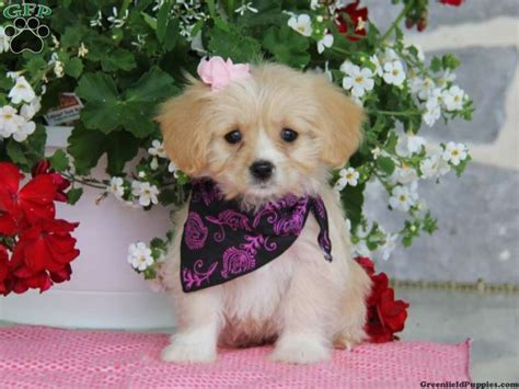 king charles cavalier puppies for sale in pa 17 best images about loving designer puppies for sale on morkie puppies