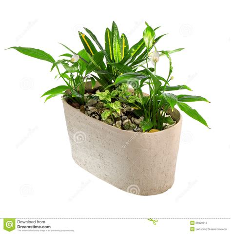 in door plant put in pot vide indoor plant in a pot stock photo image of object front
