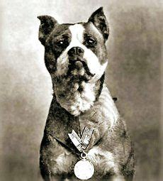 Sergeant Stubby Taxidermy Dogs Of And Courage On War Dogs Working Dogs And Army Dogs