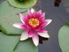 What Does A Lotus Flower Look Like Lotus Flower By Waiting For Wings On Deviantart