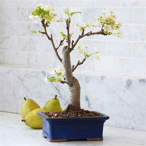 miniature pear bonsai tree the green head