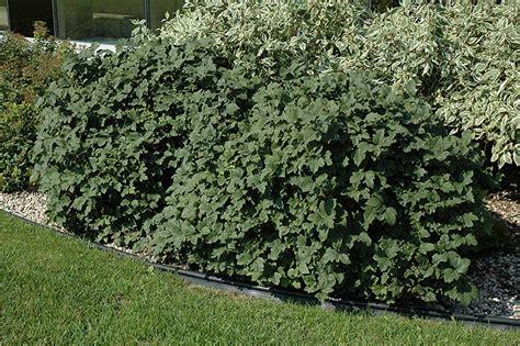 Millcreek Nursery Ltd by Dwarf European Cranberry Viburnum Opulus Nanum In