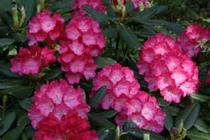 hirsutum info rhododendron hybrid fantastica high