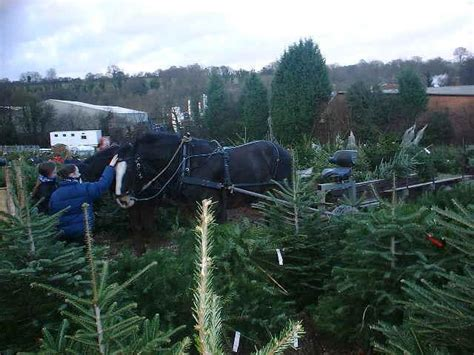 christmas trees chesham shire horses at work with trees