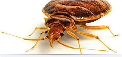 bed bug company bed bugs treatment elimination torco