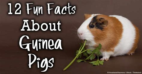 new year facts about the pig 12 facts about guinea pigs you should