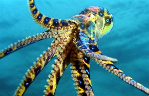deadliest catch octopus blue ringed octopus attack