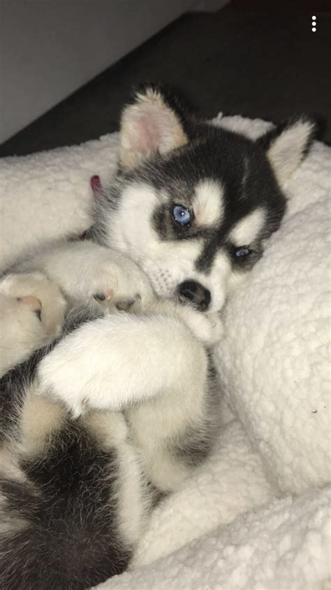 husky puppy care 4 ways to and care for your new siberian husky puppy