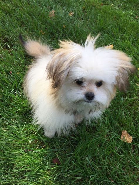 shiranian puppy 17 best images about dogs on morkie puppies for sale puppys and