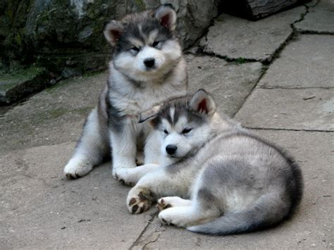 alaskan malamute puppies mn alaskan malamute puppies puppies puppy