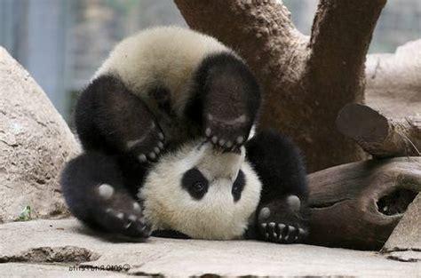 Panda Lucu 45 fakta menarik tentang panda yang lucu lu kecil
